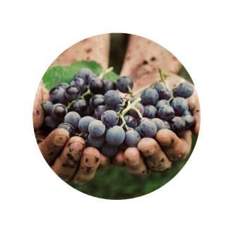 Biologische druiven voor de productie van biologische wijnen