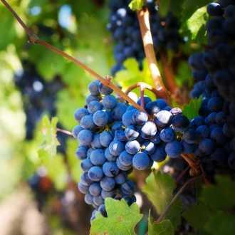 Blauwe druiven Italie