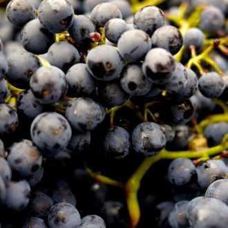 Blauwe druiven, Spanje