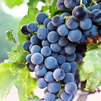 Blauwe druiventros Italie