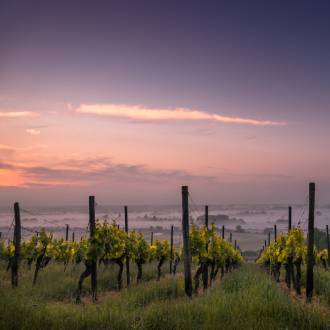 Laaghangende mist wijngaard