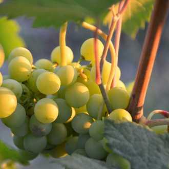 Witte druiven Duitsland