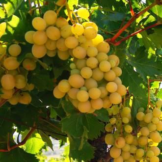 Witte druiven Portugal