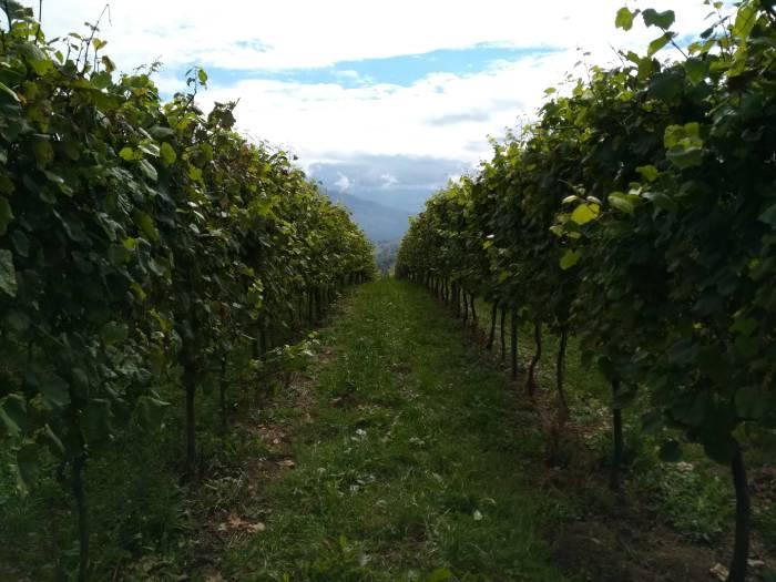 Wijngaard in Spaanse wijnstreek Cantabria