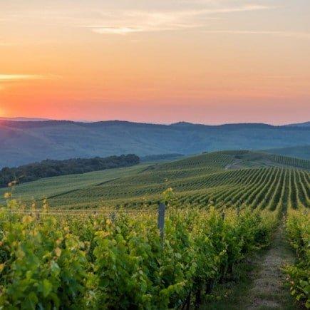 Roemeense wijngaard